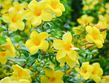 Allamanda, the Golden Trumpet
