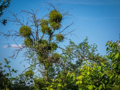 gui arbre