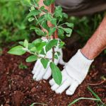 planting shrubs in fall