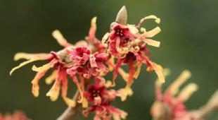 arbuste fleur hiver