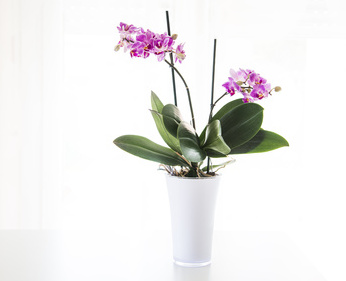 Orchids, daughters of light