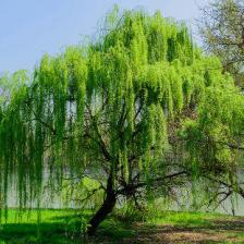 Willows for gardens both big and small