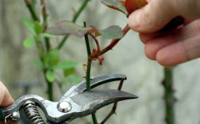 pruning a rose tree