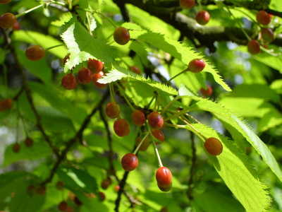 Wild Cherry Planting Pruning Care And Harvest Of The Wild Cherries