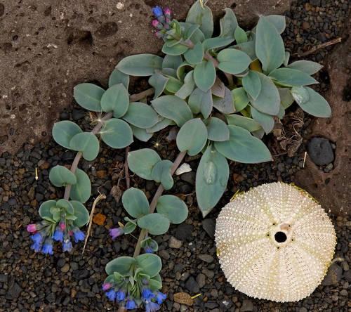 Mertensia maritima, the oyster plant