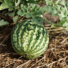 Watermelon, how to grow it best