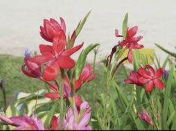 schizostylis kaffir lily