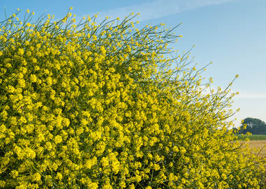 Mustard health benefits and therapeutic value