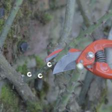 Pruning climbing rose trees