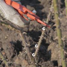 Pruning English rose trees