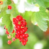 Plant your own currants!