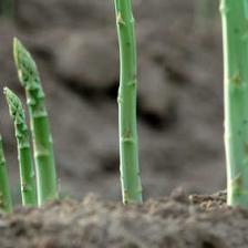 Asparagus, how to grow it