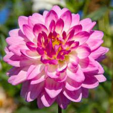 Dahlia, unique garden flowers