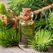 Black spruce, it heals many ailments
