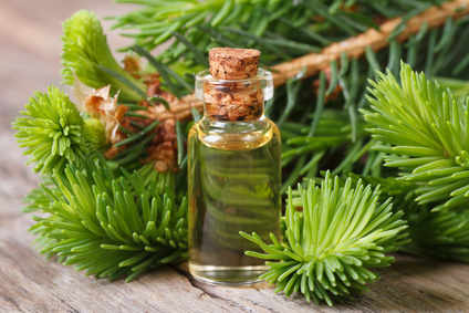 Black spruce, it heals many ailments