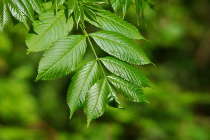 Ash tree health benefits and therapeutic value