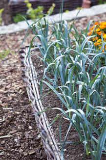 Leek - sowing, growing and harvesting leek Leek Companion Plants