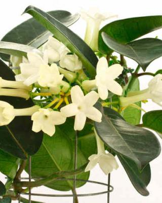 Stephanotis, a deliciously fragrant vine