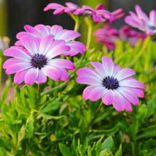 Osteospermum – osteo in the garden
