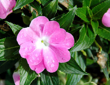 Impatiens, beautiful and long-lasting blooming