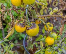 tomato blight, downy mildew