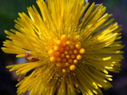 coltsfoot tussilago