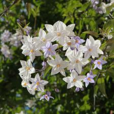 Solanum, Potato vine, a jasmine look-alike