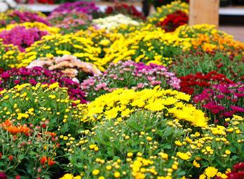 Autumn daisy, a festival of colors