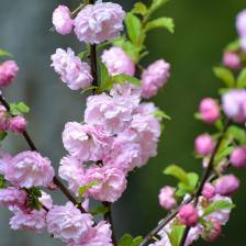 Flowering plum, Prunus trees