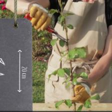 Preparing rose tree cuttings, when and how to do it