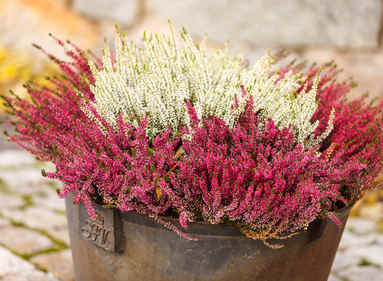 Winter heather all about caring for it from fall to winter heath fall and winter perennials mightylinksfo