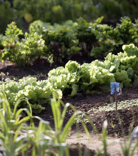 Life goes on in the vegetable patch