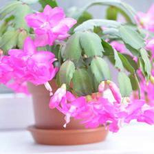 Schlumbergera, the Christmas cactus