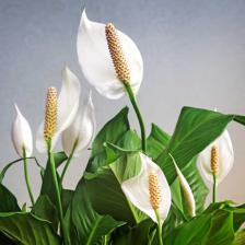 "Spathiphyllum, the ""peace lily"""