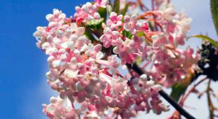 arbuste fleurs hiver