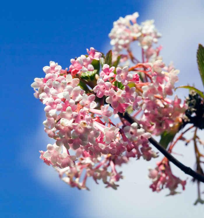 arbuste fleurs hiver parfum