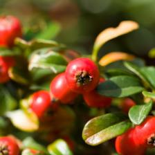 Gaultheria health benefits and therapeutic value