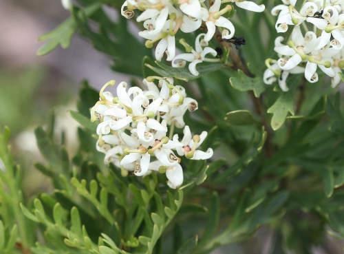 Lomatia tinctoria – a simply astounding shrub