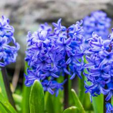 Hyacinths, a must-have bulb flower