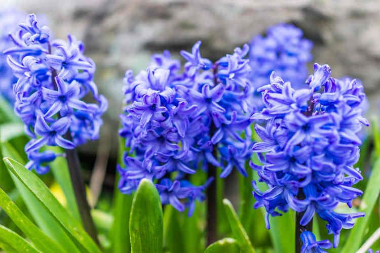 Hyacinths, a must-have bulb flower