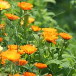 Care for marigold is straightforward, like this bush that just needs deadheading.