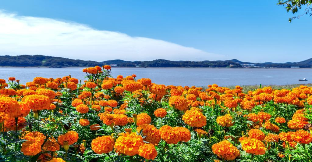 Marigolds growing in a large flowerbed overlooking the sea.