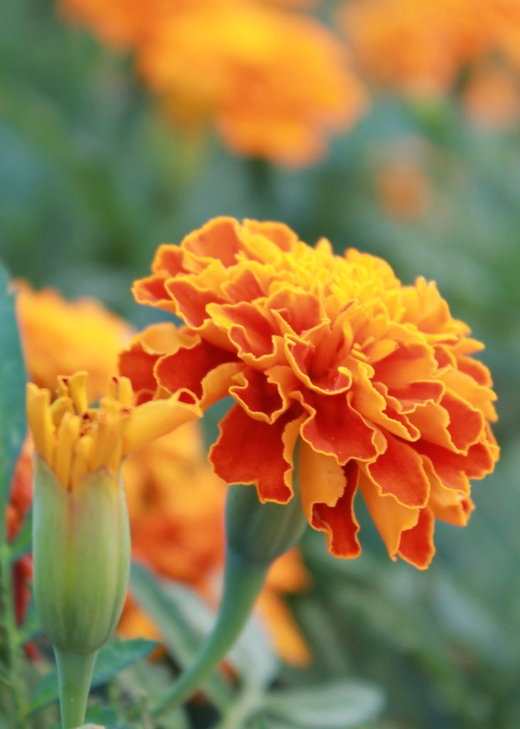 Frilly red and orange marigold flowers with a hazy background.