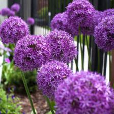 Giant onion, simply magnificent flowers