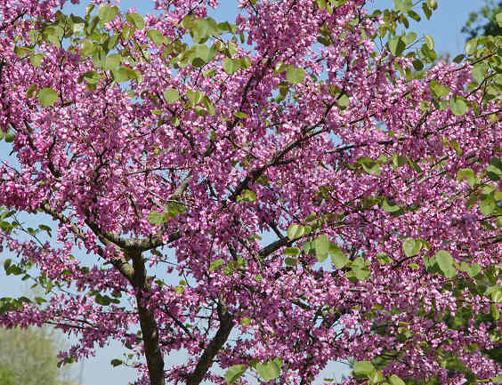 Judas tree, remarkable blooming