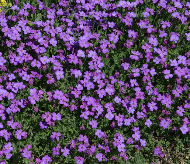 Aubrieta, for rocky ground and terrain