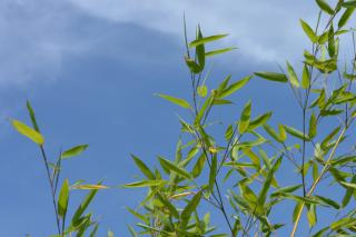 Leaves of a bamboo plant against a blue sky with cirrus clouds.