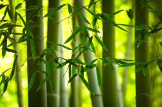 Bamboo stems criss-crossing in the background of bamboo leaves.