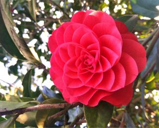 Pink camellia flower with petals spiraling out.