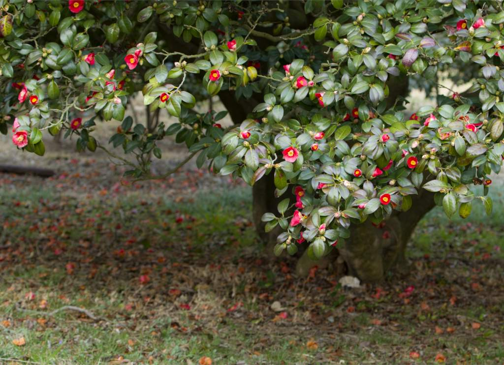 Camellia - pruning & caring for camellias to get magnificent